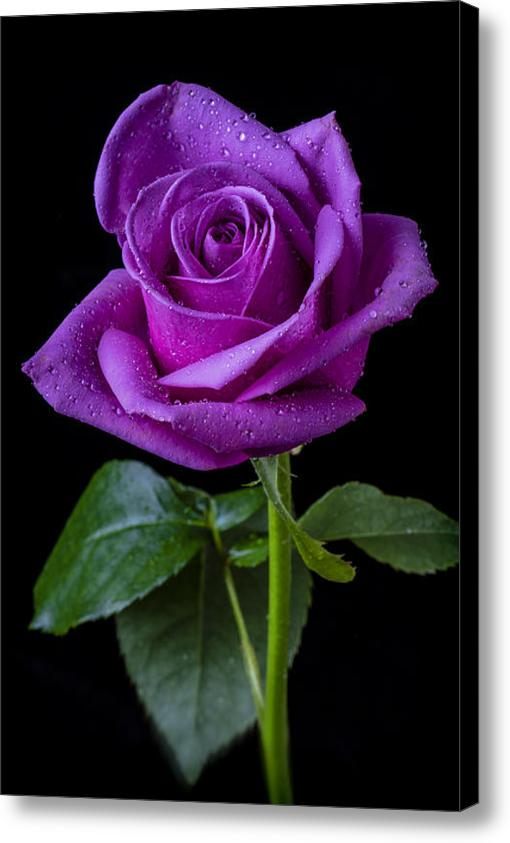 fresh-purple-rose-stick